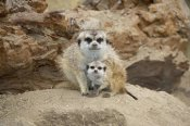 San Diego Zoo - Meerkat mother and baby, native to southern Africa