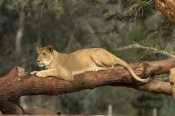 San Diego Zoo - African Lioness resting on log, native to Africa