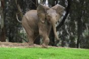 San Diego Zoo - Playful African Elephant calf, native to Africa