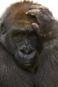 San Diego Zoo - Western Lowland Gorilla with hand on head, native to Africa