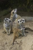 San Diego Zoo - Meerkat group huddling together, native to Africa