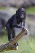 San Diego Zoo - Bonobo baby on log, native to Africa