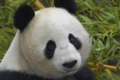 San Diego Zoo - Giant Panda portrait, native to China