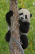 San Diego Zoo - Giant Panda cub in tree, native to China