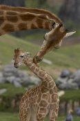 San Diego Zoo - Rothschild Giraffe mother nuzzling calf, native to Africa