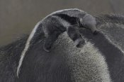 San Diego Zoo - Giant Anteater baby clinging to mother's back, native to South America