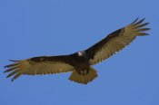 San Diego Zoo - Turkey Vulture soaring overhead, native to North America