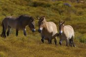 San Diego Zoo - Przewalski's Horse trio in grassland, endangered, native to Mongolia