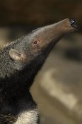 San Diego Zoo - Giant Anteater profile, native to South America