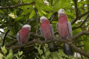 San Diego Zoo - Galah trio perching in tree, native to Australia