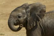 San Diego Zoo - African Elephant calf portrait, native to Africa