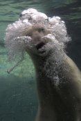 San Diego Zoo - Polar Bear swimming underwater