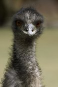 San Diego Zoo - Emu portrait, native to Australia