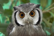 San Diego Zoo - Southern White-faced Owl portrait, native to southern Africa