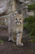 San Diego Zoo - Mountain Lion cub walking, native to North America
