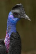 San Diego Zoo - Dwarf Cassowary portrait, native to New Guinea