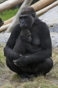 San Diego Zoo - Western Lowland Gorilla mother and baby, native to Africa