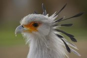 San Diego Zoo - Secretary Bird portrait, native to Africa