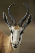 San Diego Zoo - Springbok portrait, native to Africa