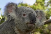San Diego Zoo - Koala portrait, native to Australia