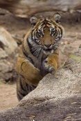 San Diego Zoo - Sumatran Tiger cub jumping onto rock, native to Sumatra