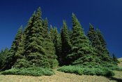 Mark Moffett - Subalpine Fir trees on hurricane ridge, Olympic Peninsula, Washington