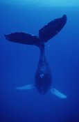 Flip Nicklin - Humpback Whale singer called Frank, Maui, Hawaii