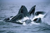 Flip Nicklin - Humpback Whales gulp feeding on herring school, Southeast Alaska