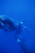 Flip Nicklin - Humpback Whale cow, calf and escort, Hawaii
