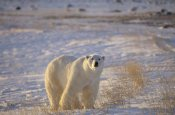 Flip Nicklin - Polar Bear standing on tundra with grasses, near Hudson Bay, Canada