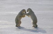 Flip Nicklin - Polar Bear pair sparring, Churchill, Manitoba, Canada