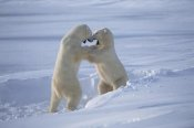 Flip Nicklin - Polar Bear males sparring, Churchill, Manitoba, Canada