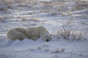 Flip Nicklin - Polar Bear and cub near, Hudson Bay, Canada