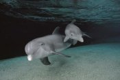 Flip Nicklin - Bottlenose Dolphin mother and baby swimming underwater