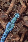 Mark Moffett - Rove Beetle portrait, on Hala tree, Papua New Guinea
