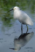 Flip Nicklin - Snowy Egret wading through shallow water, Florida Keys