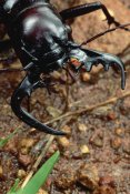 Mark Moffett - Ground Beetle portrait, Kruger National Park, South Africa