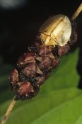 Mark Moffett - Tortoise Beetle mother shields her young, Panama