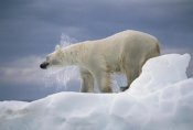 Flip Nicklin - Polar Bear shaking off water from coat, Canada