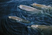 Flip Nicklin - Bottlenose Whale pod surfacing, Nova Scotia, Canada