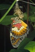 Mark Moffett - Malay Lacewing butterfly emerging from cocoon, Malaysia