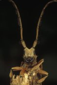 Mark Moffett - Long Horn Beetle portrait, antennae length may exceed body length, Asia