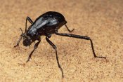 Mark Moffett - Darkling Beetle bends down to drink dew collected on its back, Namib Desert