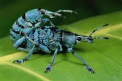Mark Moffett - True Weevil pair mating, Hala, Papua New Guinea