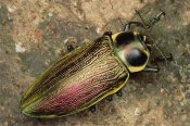 Mark Moffett - Metallic Wood-boring Beetle