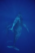 Flip Nicklin - Humpback Whale cow, calf and escort, Maui, Hawaii