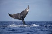 Flip Nicklin - Humpback Whale tail lobs, Maui, Hawaii