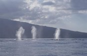 Flip Nicklin - Humpback Whale multiple spouts, Maui, Hawaii