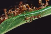 Mark Moffett - Green Tree Ants on  leaf with Ant-mimicking Jumping Spider hiding below, Sri Lanka