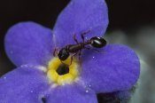 Mark Moffett - Ant with pollen enters Alpine Forget-me-not flower , Colorado